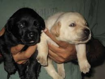 Labrador puppies for sale pair black male and cream female. Pair cost σε Ermionida