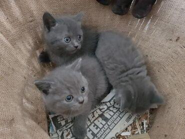 Μπλε βρετανικά γατάκια ShorthairΓεια σας, έχουμε αξιολάτρευτα γατάκια