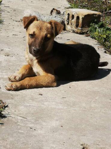 Собаки - Кыргызстан: Чудесные щенки ( дворняги) ждут будущих хозяев. Возраст 3 месяца. 4