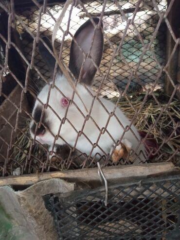 Животные - Шеки: 🐇Salam dovşan həvəskarları🐇1-aylıq balalar-4azn2-aylıq balalar3-aylıq