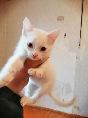 вислоухий шотландец котенок в Азербайджан: Турецкий Ван, торопитесь остался 1 котёнок чистая линия, к лодку пр