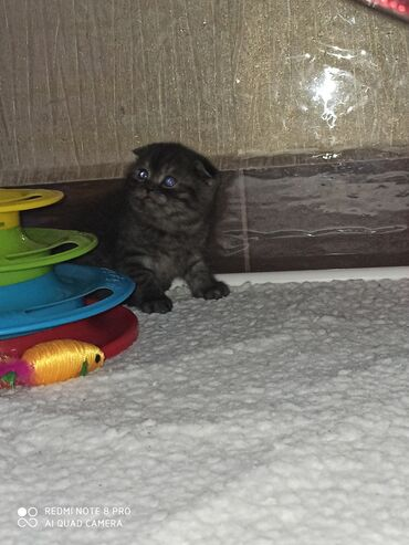 продам клексан в Кыргызстан: Продаются котята породы скотиш страйт скотиш фолд. Цена зависит от цел