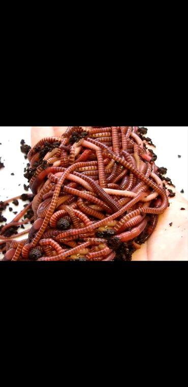 Красный Калифорнийские черви биогумус !!!!!! Исследователи доказали ч