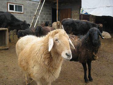 Животные - Чолпон-Ата: Семиз кой, козу/Откормленные барашки г. Чолпон-Ата ш