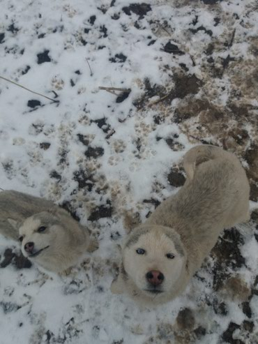 Сибирский хаски голубого глазами щенки 6мес 2шт 8000 сом каждый в Бишкек