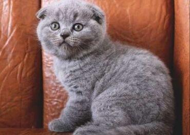 телефон флай ff246 в Азербайджан: Шотландский вислоухий котёнок Девочка и мальчик. 1 месяц и других во