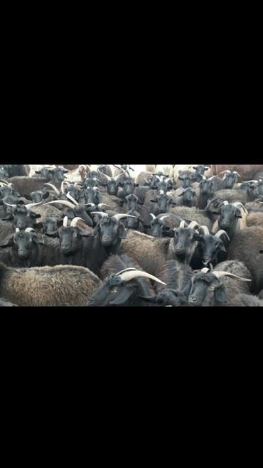 детские коляски макси кози в Кыргызстан: Продаю или меняю. Козы пуховые