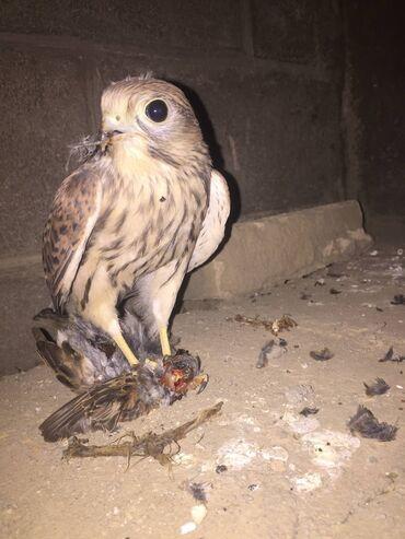 Животные - Кызыл-Адыр: Продаю  Обмен интересует