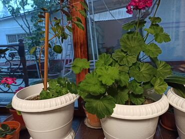 Комнатные растения - Кыргызстан: Молодые цветущие Герани и горшки новые. Есть ещё Фиалки