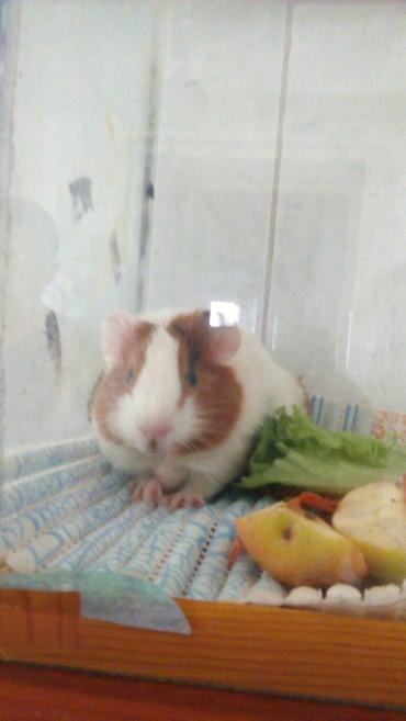 Продается морская свинка,, розетка,, возраст месяц. цена 300сом. тел.  в Бишкек