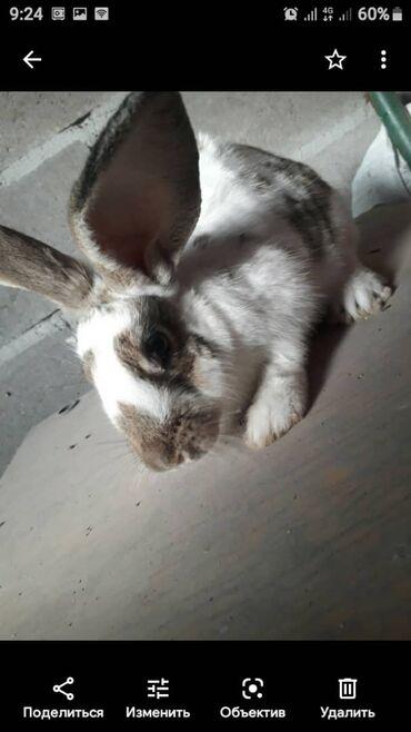 Животные - Сузак: Продаю | Крольчиха (самка) | На забой, Для разведения