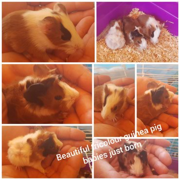 Hand raised lovely ,friendly and  beautiful tricolour guinea pig σε Kallithea