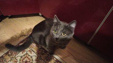 Животные - Таш-Мойнок: Британский котенок10 месяцевХодит в лотокХороший и воспитанныйОчень