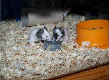 Мыши - Кыргызстан: Продаются японские карликовая мышь или бамбуковые крыски.Самый мелкий