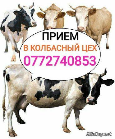 Куплю скот на забой, а также вынужденый забой скота