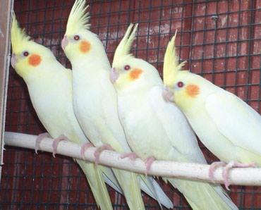Попугаи кареллы хорошо разговаривают и приручаются к рукам