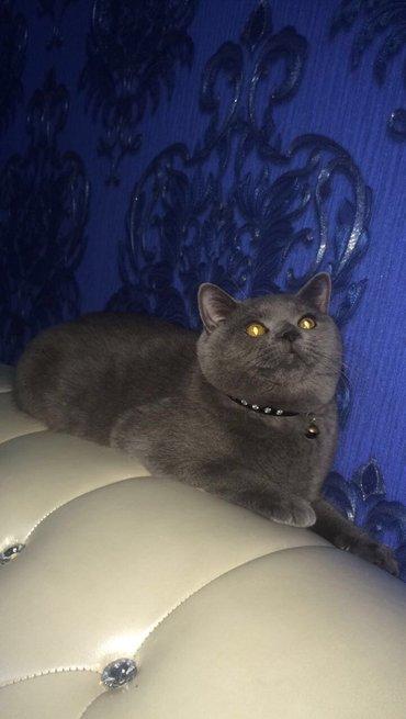 шотландский кот на вязку в Кыргызстан: Кот на вязку чистокровный шотландский скоттиш страйт! голубого