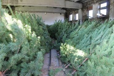 Живые новогодние елки оптом и в розницу от производителя с доставкой