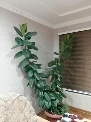 monstera bitkisi - Azərbaycan: Fikus bitkisi.Gözəl görüntü və təmiz hava.Bakının Mərdəkan kəndindədi