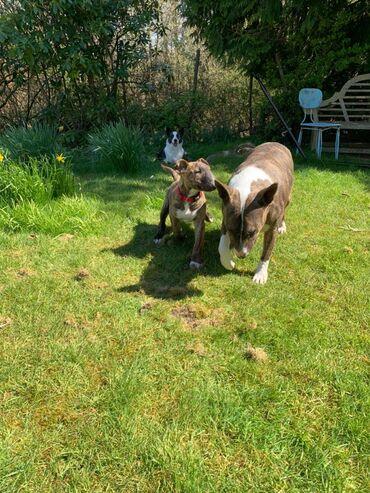 Αγγλικά κουτάβια τεριέ για υιοθεσίαΑγγλικά κουτάβια Bull Terrier