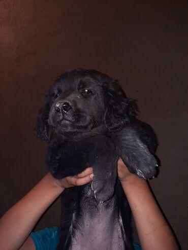 Животные - Новопавловка: Продаю щенка лабрадора ретривера, чистокровная не смешанная