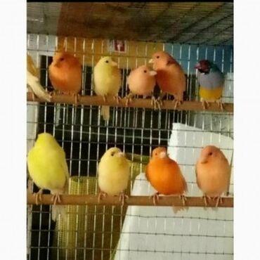 Животные - Кок-Джар: Канарейки самцы поющие, можно и самочку купить