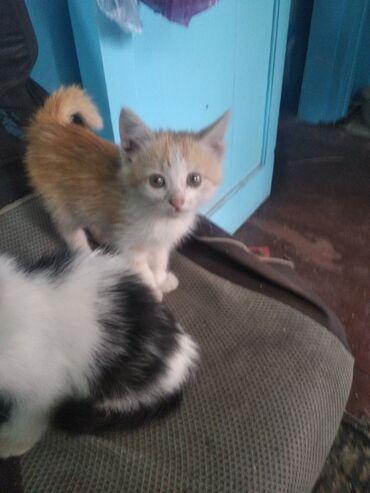 Находки, отдам даром - Токмок: Отдам даром котят к лотку приучены кушают всё подряд