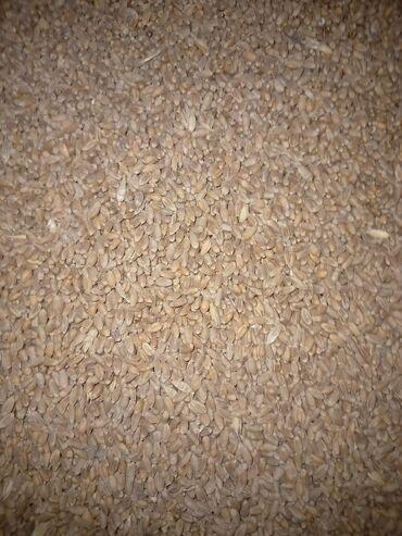 Животные - Александровка: Продаю пшеницу 24 тоны