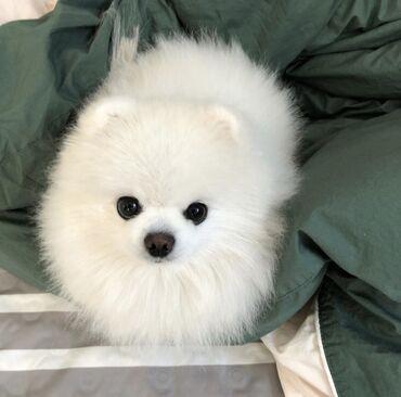 Άσπρα Pomeranian αρσενικά και θηλυκά κουτάβια διεύθυνση email