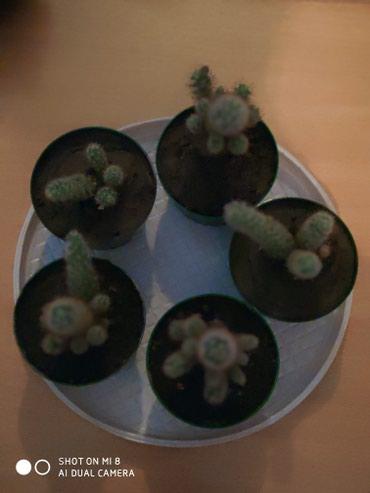 Продаются мини кактусики в горшочках,1 в Бишкек