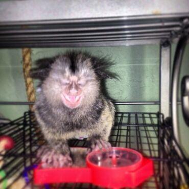 Το Marmoset Monkey επικοινωνεί μαζί μας απευθείας στο
