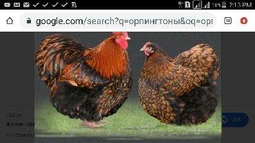 Продаю инкубационные яйца орпингтонов и петухов молодых