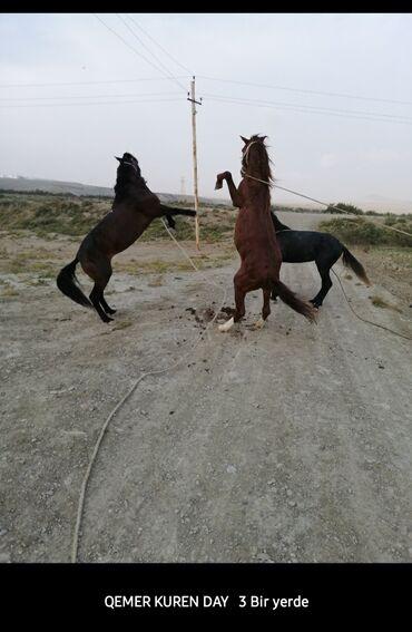 - Azərbaycan: Satilir. yorga atlar. elaqe ucun nomreye zeng eleyin