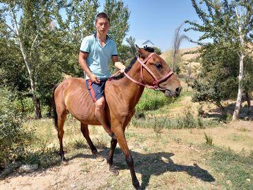 Животные - Массы: Продаю   Конь (самец)   Конный спорт   Племенные