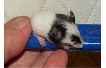 Продаются японские карликовая мышь или бамбуковые крыски.Самый мелкий