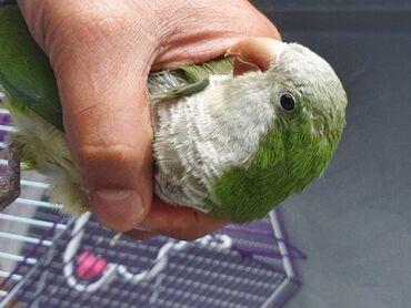 Πράσινος παπαγάλος QuakerΓεια Έχω 5 μηνών μωρό αρσενικό κουάκερ
