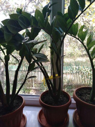 Комнатные растения в Кок-Ой: Долларовое дерево, привлекает в дом деньги, цена 500сом, 600сом,700сом