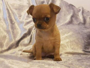Για σκύλους - Αθήνα: Chihuahua διαθέσιμο 100% υγιές επικοινωνήστε μαζί μου για περισσότερες