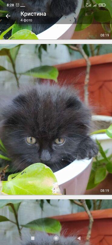 Животные - Новопавловка: Продаю котёнка