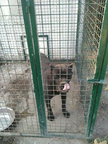 Pas - Srbija: Prodajem psa rase cane corso sa pasosem odlican cuvar hitno zbog