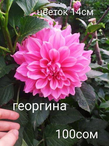 Семена и уличные растения - Сокулук: Продаю клубни георгин от 70 сом до 100сом!