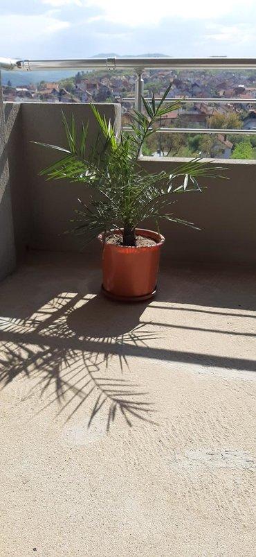 Prodajem palme Grčke