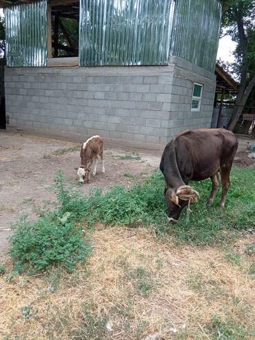 Животные - Буденовка: Продаю | Тёлка | Для разведения | Стельные