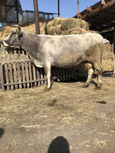 шапочки для плавания бишкек in Кыргызстан | ДРУГОЕ ДЛЯ СПОРТА И ОТДЫХА: Продаю | Корова (самка) | Голштин, Алатауская | Для разведения, Для молока | Искусственник