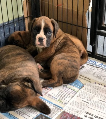 Beautiful Quality Brindle Boxer Puppies σε Athens