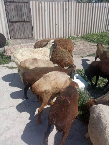 С/х животные в Кыргызстан: Козу.,ягнята ургачы бычмал, кочкор . оптом бардыгы 20 баш . подро