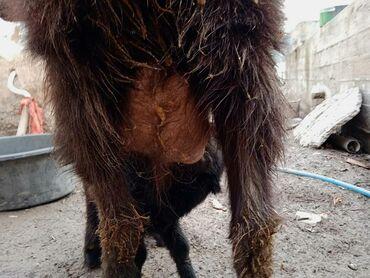 Куплю козу дойную - Кыргызстан: Продаю   Коза (самка)   Зааненская, Битал   Для молока