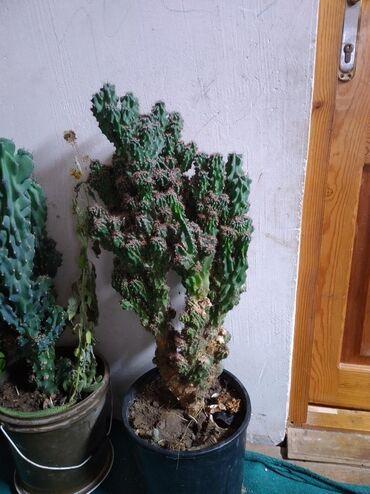 Dibcək gül kaktus