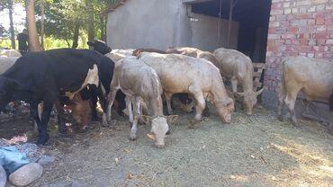 Животные - Аламедин (ГЭС-2): Срочно букалар сатылат 29 баш Сокулукта