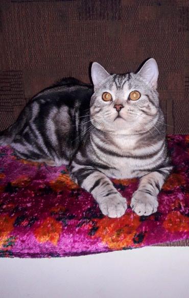 Вязка!!! Шикарный молодой котик в Бишкек